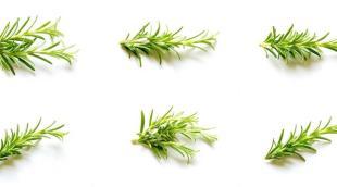 Ароматный розмарин: виды, сорта, описание растения, история происхождения