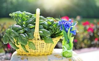 Базилик, реган, орегано: разные травы или одно и то же растение