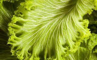 Можно ли есть листья горчицы: полезные свойства салатной зелени
