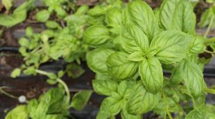 Базилик зеленый: в чем отличие от фиолетового и какая из пряностей полезнее