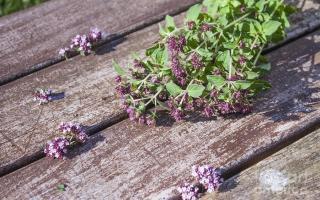 Полезные свойства душицы обыкновенной: применение травы в лечебных целях