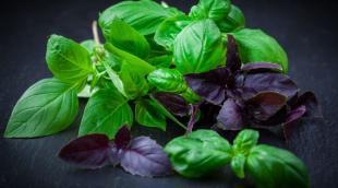 Чем полезен базилик для организма человека: польза и вред, лечебные свойства пряной зелени