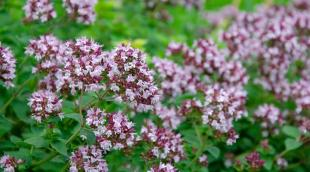 Как выглядит душица обыкновенная: ботаническое описание культуры