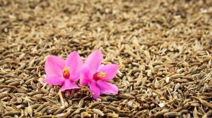 Зира, тмин, кумин: разные специи или один вид пряного растения