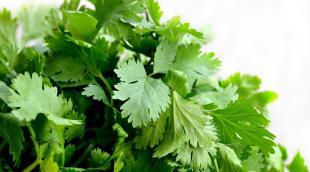 Чем полезна кинза: особенности употребления пикантной зелени