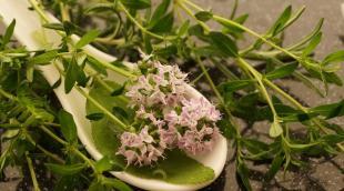 Чабрец и душица: разные ли это растения, что полезнее
