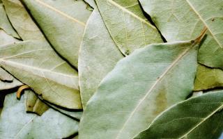 Эффективен ли лавровый лист при аллергии: особенности применения