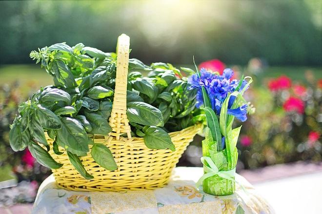 Зелень базилик реган