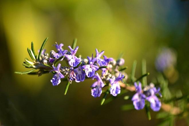 Розмарин в ароматерапии