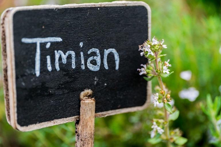 Тимьян в ботаническом саду