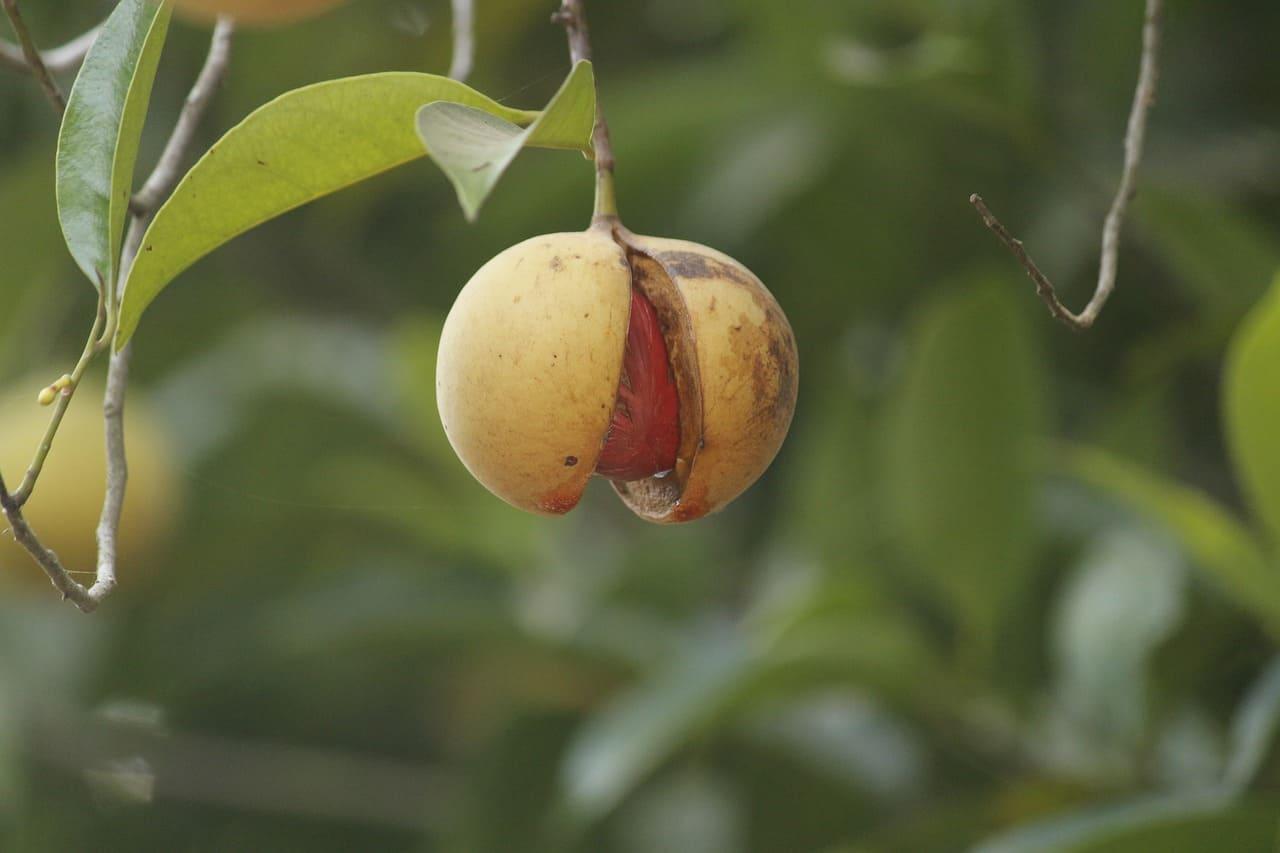 Дерево Мускатный орех