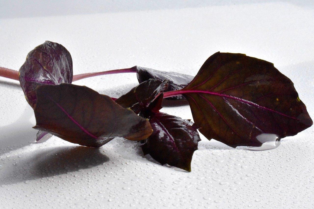 Базилик фиолетовый польза
