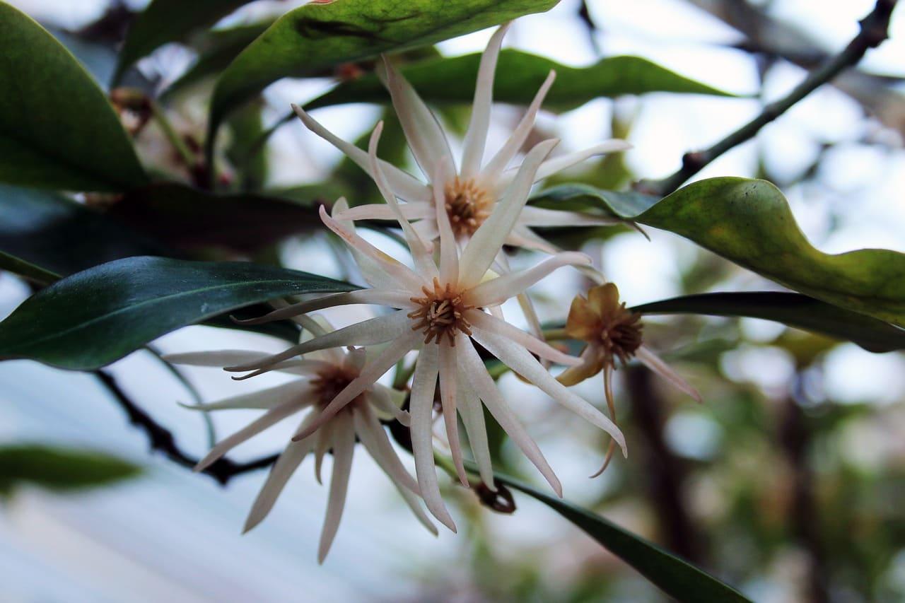 Цветы бадьяна