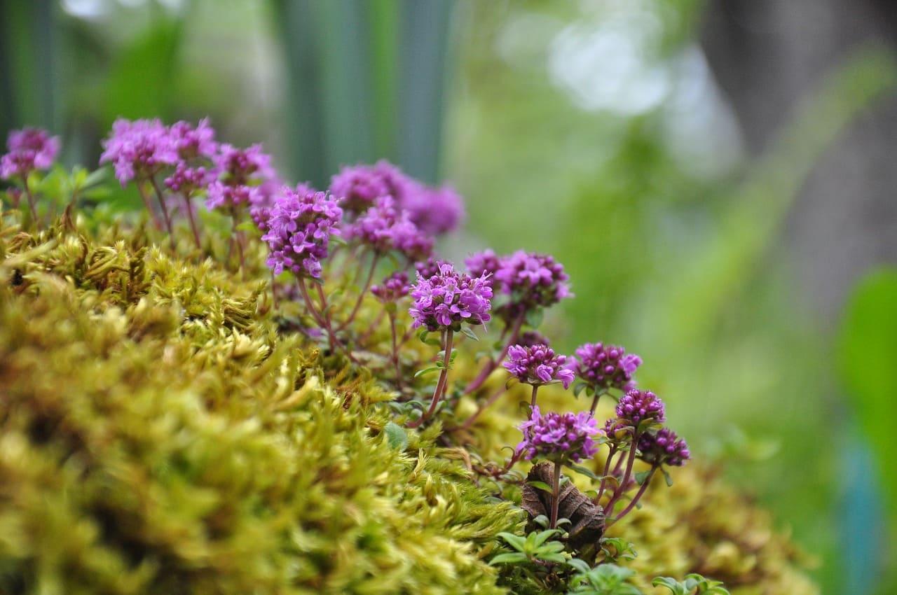 Тимьян растение