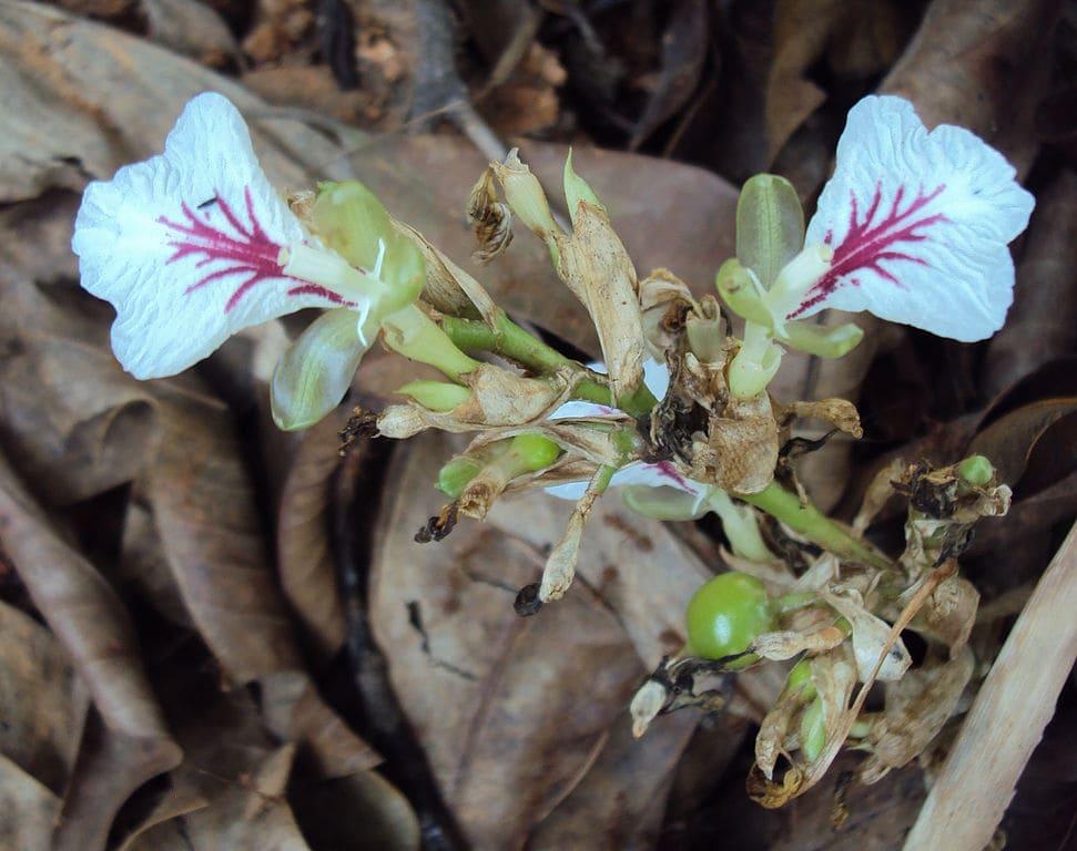 Кардамон растение