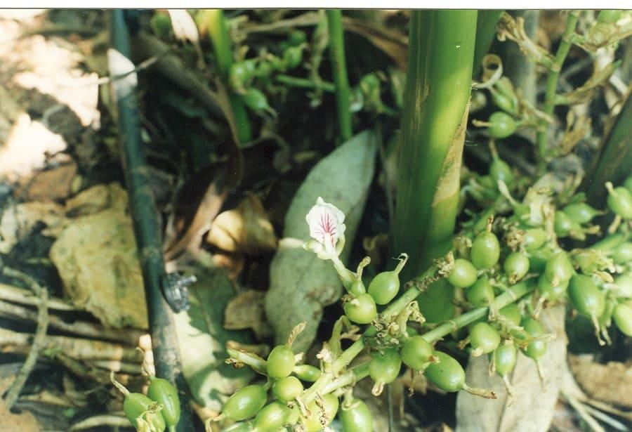 Изготовление кардамона