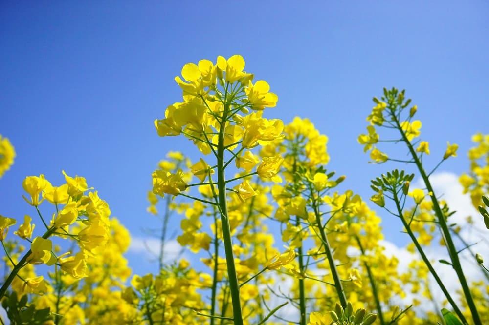 Горчица - травянистое растение